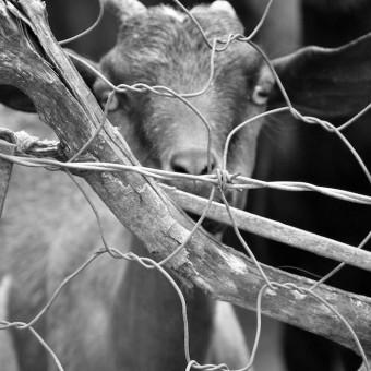 goat in a kraal