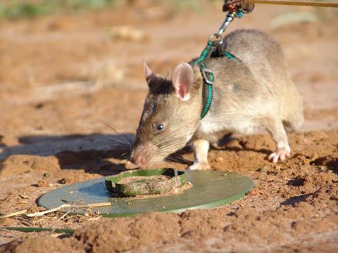 King Rat 2