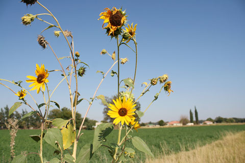 Kimberley - Sunflowers