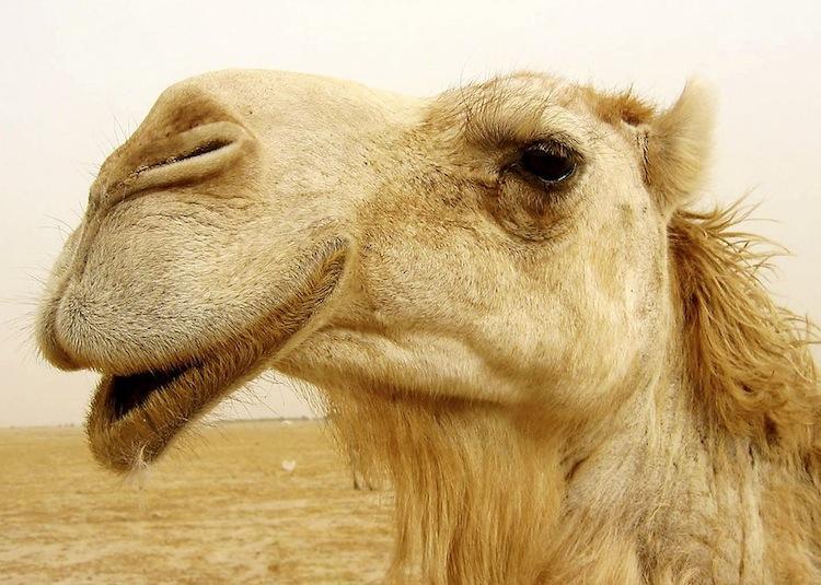 Camel Sneeze